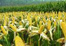 甘肃省2016年玉米品种布局