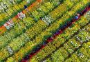 彩色油菜花在什邡成功培育