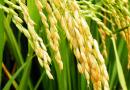 2016年广东晚造种子市场供求形势分析