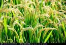 苏州市发布明年水稻种子价格行情动态预测