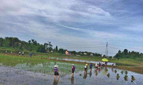 南充市完成水稻试验示范和鉴定栽秧工作
