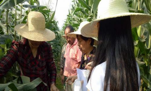 鲜食玉米新品种区域试验在南充完美收官