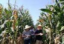 南充市召开玉米新品种现场评议会