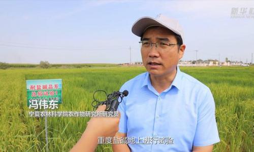 """""""袁隆平海水稻""""种植模式在宁夏生根发芽"""